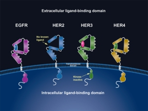 ErbB family of receptors